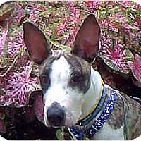 Adopt A Pet :: Rodney - San Antonio, TX