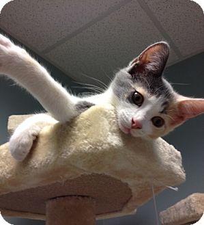 Calico Kitten for adoption in Byron Center, Michigan - Chynna
