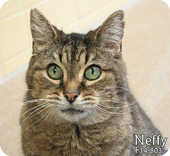 American Shorthair Cat for adoption in Tiffin, Ohio - Neffy
