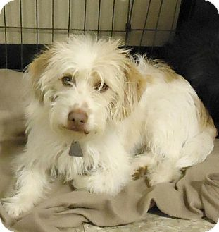 Lhasa Apso Mix Dog for adoption in Las Vegas, Nevada - Duke