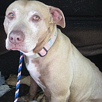 Pit Bull Terrier Dog for adoption in Rockaway, New Jersey - Cher, Sonny's Mom