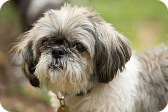 Shih Tzu Dog for adoption in Tallahassee, Florida - BoBo - ADOPTED