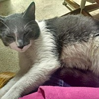 Russian Blue Cat for adoption in St. Cloud, Florida - Capone