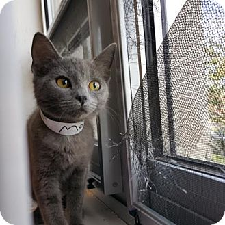 Domestic Shorthair Kitten for adoption in Denver, Colorado - Monroe