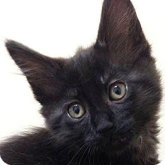 Domestic Shorthair Kitten for adoption in Port Angeles, Washington - Mooney