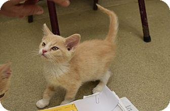 Domestic Shorthair Kitten for adoption in Bucyrus, Ohio - Joker