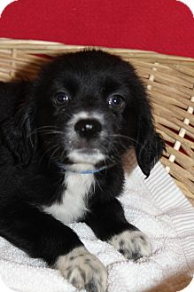 Labrador Retriever Mix Puppy for adoption in Waldorf, Maryland - Pepper