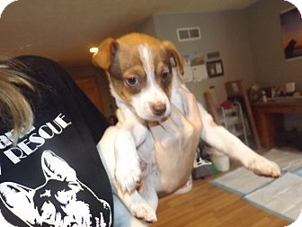 Collie/Miniature Pinscher Mix Puppy for adoption in Quincy, Indiana - Puppy 4 Spot