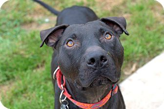 Pit Bull Terrier/American Staffordshire Terrier Mix Dog for adoption in College Station, Texas - Maddox