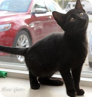 Domestic Shorthair Cat for adoption in Flora, Illinois - Sidney