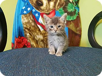 Domestic Shorthair Kitten for adoption in Moberly, Missouri - Porky