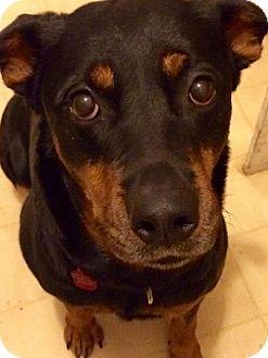 Rottweiler Mix Dog for adoption in Frederick, Pennsylvania - Precious