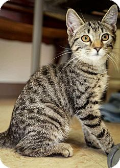 Domestic Shorthair Kitten for adoption in Trevose, Pennsylvania - Prue