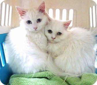 Persian Kitten for adoption in Sherman Oaks, California - Hera, Asteria, Athena