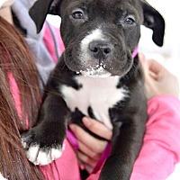 Adopt A Pet :: Princess - Reisterstown, MD