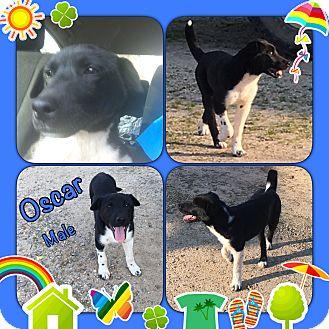 Border Collie/Labrador Retriever Mix Puppy for adoption in East Hartford, Connecticut - Oscar meet me 4/7