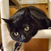 Adopt A Pet :: Witch Hazel - lap cat! - Salisbury, MA
