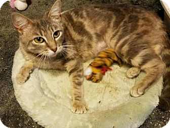 Domestic Shorthair Cat for adoption in Pineville, Louisiana - Blyss