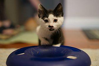 Domestic Shorthair Kitten for adoption in Brea, California - SEBASTIAN