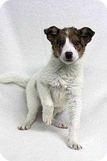 Australian Cattle Dog Mix Puppy for adoption in Westminster, Colorado - Queenie