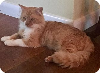 Domestic Longhair Cat for adoption in East Hartford, Connecticut - Chevy (in CT)