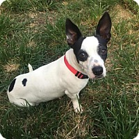 Jack Russell Terrier/Basset Hound Mix Dog for adoption in Houston, Texas - Angie