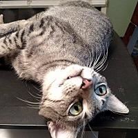 Adopt A Pet :: Alli Kat - Jacksonville, FL