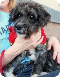 Schnauzer (Miniature)/Poodle (Miniature) Mix Puppy for adoption in Vista, California - Ajax
