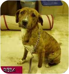 Terrier (Unknown Type, Small) Mix Dog for adoption in Hopkinsville, Kentucky - Reba