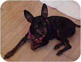 Miniature Pinscher Puppy for adoption in Florissant, Missouri - Odie