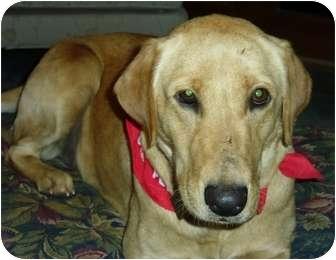 Golden Retriever/Labrador Retriever Mix Dog for adoption in Denver, Colorado - Puppy