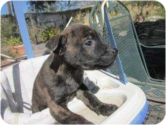 Shar Pei Mix Puppy for adoption in Tucson, Arizona - Blink