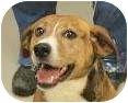 Beagle Mix Dog for adoption in Brazil, Indiana - GIGI Needs a  home now asap!