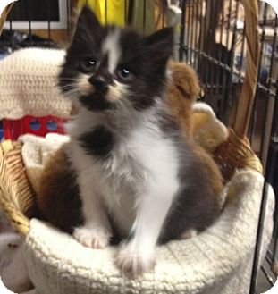 American Shorthair Kitten for adoption in Plainfield, Connecticut - Kung Fu Panda