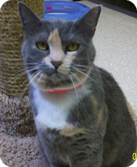 Domestic Shorthair Cat for adoption in Grants Pass, Oregon - Candy