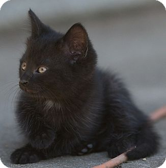 Domestic Shorthair Kitten for adoption in Providence, Rhode Island - Nana
