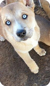 Siberian Husky/German Shepherd Dog Mix Puppy for adoption in Apple valley, California - Binky