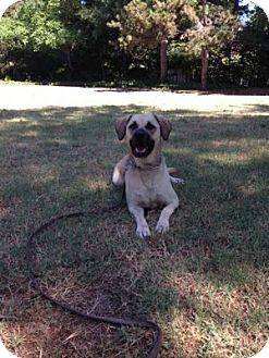 Labrador Retriever/American Bulldog Mix Dog for adoption in San Francisco, California - Blondie