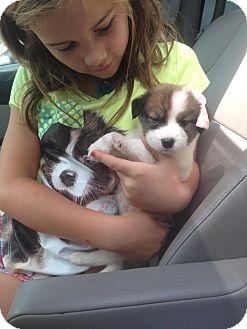 Tibetan Terrier/Shepherd (Unknown Type) Mix Puppy for adoption in Nashville, Tennessee - HUDSON