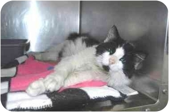Domestic Mediumhair Cat for adoption in Warwick, Rhode Island - Tony S: I'm No Gangster!