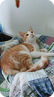 Domestic Shorthair Cat for adoption in China, Michigan - Lurch