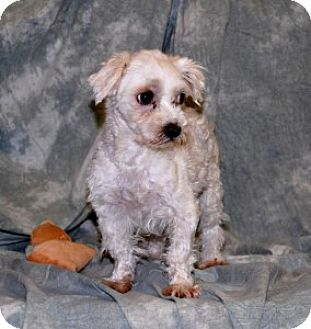 Maltese Mix Dog for adoption in Chalfont, Pennsylvania - Snowy