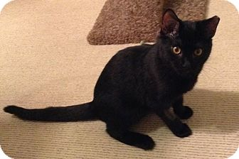 Domestic Shorthair Cat for adoption in Covington, Kentucky - Airy