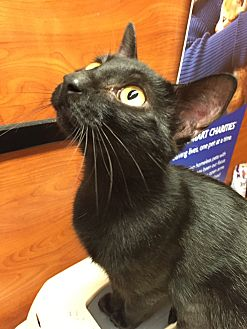 Domestic Shorthair Cat for adoption in Morganton, North Carolina - Cleocatra