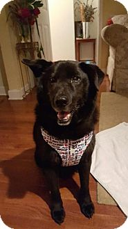 Labrador Retriever/Chow Chow Mix Dog for adoption in Lebanon, Maine - Chase