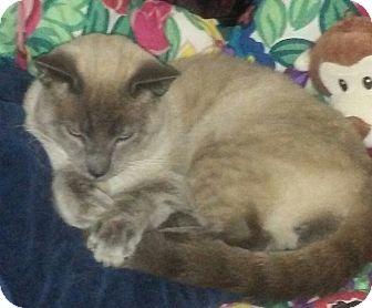 Siamese Cat for adoption in Barrington, New Jersey - Simon