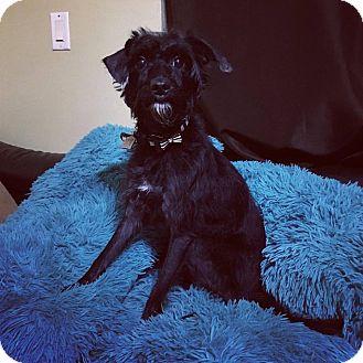 Schnauzer (Miniature)/Terrier (Unknown Type, Small) Mix Dog for adoption in Davie, Florida - Bella