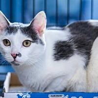 Domestic Shorthair Cat for adoption in New York, New York - Sansa