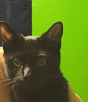 Domestic Shorthair Cat for adoption in Royal Palm Beach, Florida - Coal