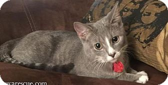 Domestic Shorthair Cat for adoption in Wayne, New Jersey - Esmerelda
